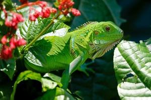iguana-223157_640